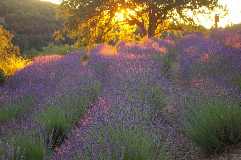 Carmel Lavender as the sun sets over the fields.